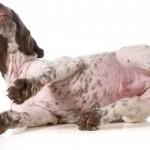 Loppemiddel hund (foto: petworld.dk)